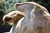 Gobbe del cammello, zoo di Fasano, Puglia, Italia. (william eos) Tags: desktop art canon photo italia wallpapers fotografia puglia animali cammello sfondo photografy fasano photocard nicepictures bellefoto canonef24105mmf4lisusm gobbe canoneos450d zoodifasano sfondiperdesktop williameos williamprandi dettagliofotografico