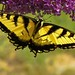 Eastern Tiger Swallowtail2