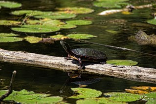 Painted Turtle 01