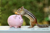 A Peanut Saved is a Peanut Earned (Peggy Collins) Tags: pig bank chipmunk peanut piggybank saving banking chipmunks thrifty savingmoney savingforarainyday apennysavedisapennyearned peggycollins apeanutsavedisapeanutearned