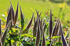Pods in Silhouette (thegardenbuzz) Tags: flowers gardens fuzzy minneapolis blooms habitat pods perennials peacegarden asclepias butterflyweed lakeharriet trialgarden