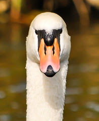 What's up dude ! (JulioB Photography) Tags: ireland dublin birds swan nikon swans cisne grandcanal rathmines groveroad portobellobridge juliob