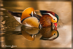 Reflection 01 [IMG_5913] (Massimo&StefaniaRavera) Tags: bird birds animals italia uccelli piemonte mandarinduck animali racconigi aixgalericulata oasi lipu specanimal anatramandarina flickrsfinestimages1 flickrsfinestimages2 flickrsfinestimages3 freedomtosoarlevel1birdphotosonly freedomtosoarlevel2birdphotosonly freedomtosoarlevel3birdphotosonly freedomtosoarlevel4birdphotosonly freedomtosoarlevel5birdphotosonly freedomtosoarlevel3birdsonly freedomtosoarlevel5birdsonly freedomtosoarlevel4birdsonly freedomtosoarlevel6birdsonly freedomtosoarlevel3birsdonly