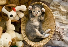 20110721_18053b (Fantasyfan.) Tags: pet cute animal animals topv111 pose furry topv555 topv333 kitten basket yes adorable fluffy moe amusing paws teddies hear crossed fantasyfanin synti highqualityanimals siirretty