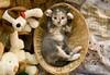 20110721_18053b (Fantasyfan.) Tags: pet cute animal animals topv111 pose furry topv555 topv333 kitten basket yes adorable fluffy moe amusing paws teddies hear crossed fantasyfanin synti highqualityanimals siirretty