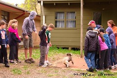 Mr koala interrupts Cub Scouts Pack Circle (Seaside-Mike) Tags: trees tree nature danger rural dangerous crossing pentax native candid butt ceremony fluffy sigma australia koala scouts adelaide determined southaustralia determination trespassers koalatree sea2side mikestobaphotography