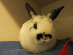 Theodore (Rayya The Vet) Tags: rabbits anaesthetic castration twitter