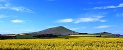 No. 270C \ Project 366 - Beautiful Golden Conola Fields near Smeaton Victoria (spacountry) Tags: farm crop smeaton canolacrop conola conolafields conolapaddocks
