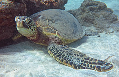 tucking in (bluewavechris) Tags: ocean life blue sea brown green nature water animal coral swim canon hawaii sand marine underwater snorkel turtle reptile wildlife bottom dive shell maui reef creature flipper freedive g1x