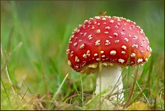 (evisdotter) Tags: macro nature mushroom bokeh gimp insects svamp oilpainting flugsvamp platinumheartawards platinumpeaceaward blinkagain