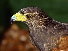 Bird Of Prey 2 (Smirfman) Tags: bird eagle feathers killer hunter birdofprey scavenger photogenic preditor blinkagain