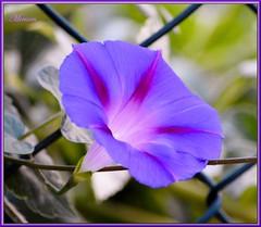 Innocenti......evasioni  ! (miriam ulivi) Tags: flowers flores macro verde nature fleurs natura campagna fiori campanula viola nikond3200 rampicante
