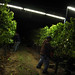 2012 Cal Plans Woods Chardonnay Harvest 0009
