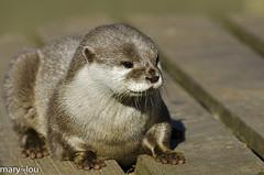 _DSC8906 (mary~lou) Tags: cute mammal furry nikon small otter maryfletcher 15challengeswinner friendlychallenges mary~lou
