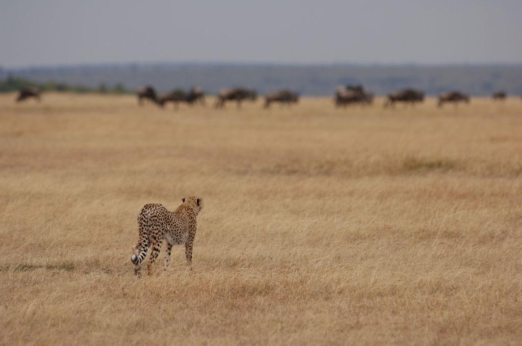 Lamai-cheetah