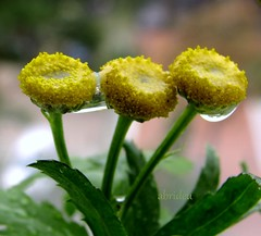United (abrideu) Tags: flowers macro canon ngc raindrops refractions tansy thegalaxy raynoxdcr250 abrideu fleursetpaysages mygearandme mygearandmepremium