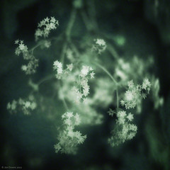 sentimental (Jon Downs) Tags: flowers white black color colour green art texture nature digital downs lumix photography photo jon flickr artist photographer image sunday picture pic panasonic photograph sliders hss pland gf5 jondowns sliderssunday