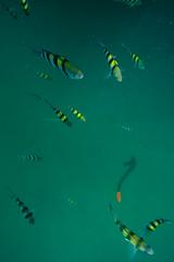 DSC09646 (andrewlorenzlong) Tags: fish swimming swim thailand snorkel snorkeling kohchang kohrang kohrangyai korangyai