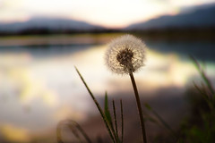 Puffball (Masaki_RR) Tags: autumn sunset sky cloud sun reflection nature october bokeh sigma dandelion depthoffield matsumoto nagano puffball foveon dp2merrill