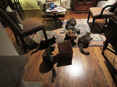 Catnip Party (Philosopher Queen) Tags: party cats playing silly fun chats gatos kitties catnip