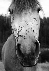 Perdign (NO es un autorretrato...) (Miguel ngel 13) Tags: portrait bw horse naturaleza byn blancoynegro animal caballo fly retrato mirar mm 35 mosca moscas whiteandblack mamfero luznatural 35mm18 nikond90