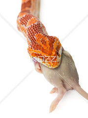 snake (texanature8877) Tags: red portrait food orange white eye scale nature ecology animal tongue mouth mouse rodent dangerous eyes rat long nocturnal natural feeding head reptile snake tail gray hunting fork slide whitebackground scales stealth python serpent swallow predator behavior adapted venomous slither sense herpetology swallowing coldblooded behaviour predation reptilian scaly lamprophis forked exothermic islolated fuliginosus studioshut coldbrid