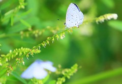 summer azure near Lime Springs IA 854A2812 (lreis_naturalist) Tags: county summer butterfly howard azure reis iowa larry springs lime