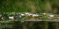 Raft of Water Lilies (Sue_Hutton) Tags: july2016 loughborough nanpantanreservoir floating reflections summer waterbody waterlillies wildlife