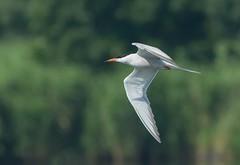 Flussseeschwalbe / Common Tern (RoninGanryu) Tags: flussseeschwalbe common tern vogel bird flug flight feather feder fauna wildlife water wasser weiss white green grn