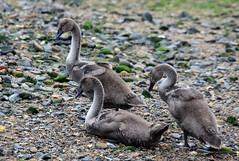 Mute Swan & 3 Cygnets (7) (grahamh1651) Tags: newlyn newlynharbour tolcarne birds seabirds gulls swans waders shorebirds