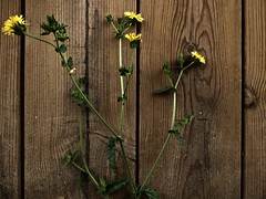 Wood & Flowers (Nicolas) Tags: flower fleur wood bois yellow jaune wild sauvage nicolasthomas issy france nature