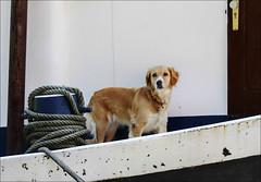 Le gentil gardien (chando*) Tags: barge bittedamarrage boat bollard chien dog pniche retriever ronquires