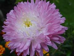 Dream (Gartenzauber) Tags: sommeraster natur garten sony ngc alittlebeauty coth coth5 npc