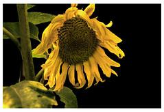 Und noch strahlt sie..... (lotharwillems) Tags: sonnenblume sonne blume blte blten natur pflanze digiart lowiart naturfotograf sunflower bloom blossom nature plant lowikind naturephotographer