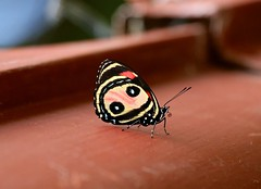 Pitheas Eighty-eight ------ Callicore pitheas (creaturesnapper) Tags: borinquenmountainresort rincondelavieja costarica lepidoptera butterflies nymphalidae pitheaseightyeight callicorepiths