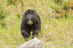 The look (ChicagoBob46) Tags: blackbear bear yellowstone yellowstonenationalpark nature wildlife