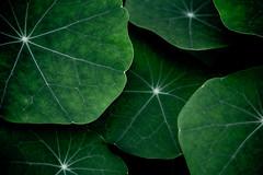 Nasturtium Alternate (Nomis.) Tags: canon eos 700d t5i rebel canon700d canoneos700d rebelt5i canonrebelt5i sk201609110581rawedit2lr sk201609110581 lightroom raw green colour nasturtium leaf petal pattern texture alternate abstract minimal