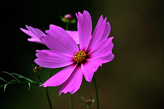 DSC_0016 Cosmos (tsuping.liu) Tags: outdoor organicpatttern blackbackground blooming plant petal photoborder perspective passion pattern photographt photoboder flower nature natureselegantshots naturesfinest