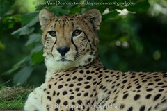 Jachtluipaard - Acinonyx jubatus - Cheetah (MrTDiddy) Tags: jachtluipaard acinonyx jubatus cheetah jacht luipaard bigcat big cat grotekat grote kat feline zoogdier mammal dierenparkplanckendael dierenpark planckendael mechelen muizen