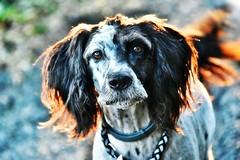 ~~Dos au soleil couchant....~~... (Jolisa) Tags: hlna chien dog portrait aot2016 regard glance soir soleil lumire light