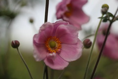 Pink (Half a Dream) Tags: helios 442