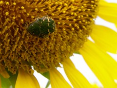 guest (hamapenguin) Tags: nature flower sunflower insect