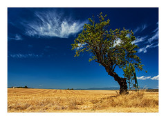 Canicule (Olivier Faugeras) Tags: france valensole provencealpesctedazur arbre trees pentax provence cloud