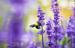 The joy of little things (Kiss Midori) Tags: lavender bee violet nature flower beautifulflower