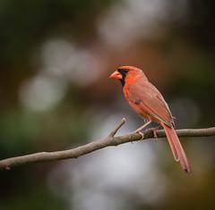 web-20160604-5-2 (>>Big_Easy<<) Tags: cardinal