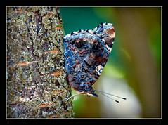 (-: Versuch sich zu tarnen :-) (karin_b1966) Tags: schmetterling butterfly insekt insect garten garden natur nature baum tree 2016 admiral yourbestoftoday