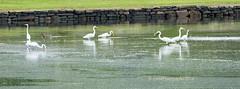 Seven Egrets Fishing WM 2016_DSC0009 (drobdyver) Tags: greategrets seven egrets shore birds snappers snapperblues oswegatchiehills nianticriver banningcove
