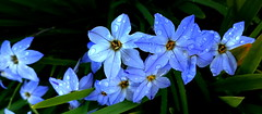 STAR OF BETHLEHEM with WATER DROPLETS (elliott.lani) Tags: flower flowers bulb bulbs starofbethlehem ipheionuniflorum blue spring springflowers water waterdroplets macro bokeh upclose closeup nature naturephotography homegarden flora floral color colour colourful beautiful pretty