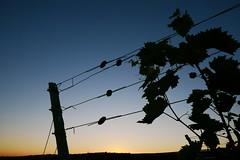 dusk & vine (rainbowcave) Tags: vine vineyard dusk sunset nature wire draht sonnenuntergang dmmerung weinberg wein reben rheinhessen