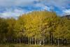Trembling Aspen (Edmonton Ken) Tags: populus tremuloides trembling aspen poplar tree leaves trunk bole colour color fall yellow green bark grove copse